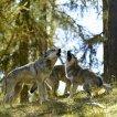 Cesta vlka